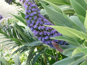 Blue flowered plant