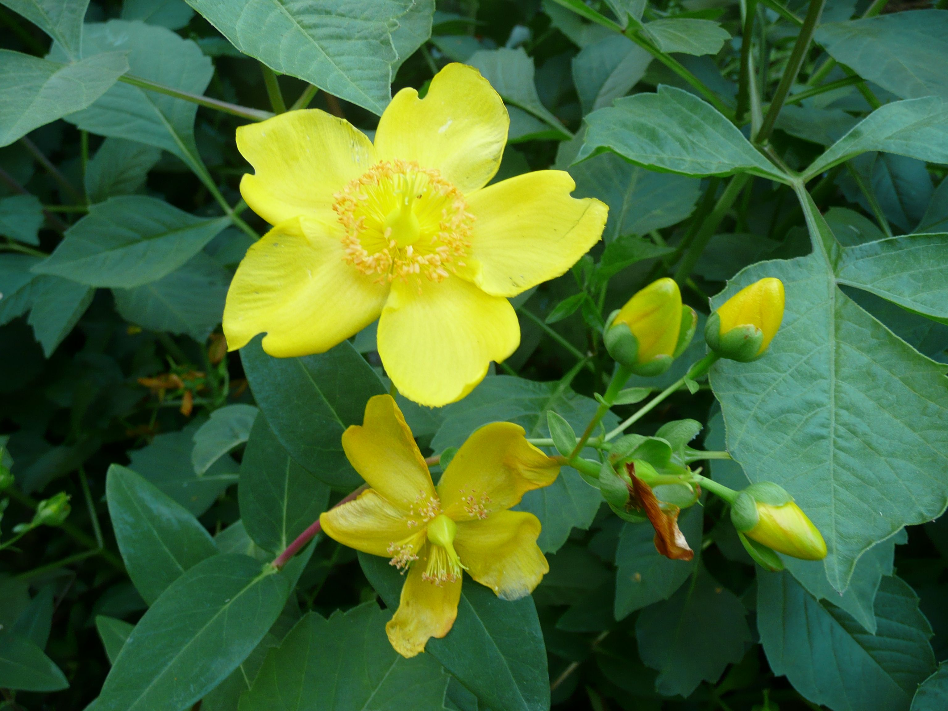 the use of st johns wort Hypericum perforatum, known as perforate st john's-wort, common saint john's  wort and st  the common name st john's wort may be used to refer to any  species of the genus hypericum therefore, hypericum perforatum is sometimes .