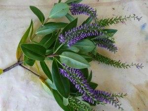Hebe-plant