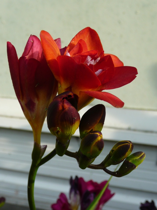 Freesia red