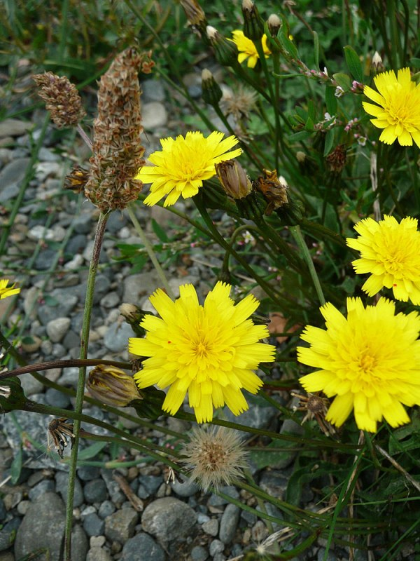 Yellow-with-plantain