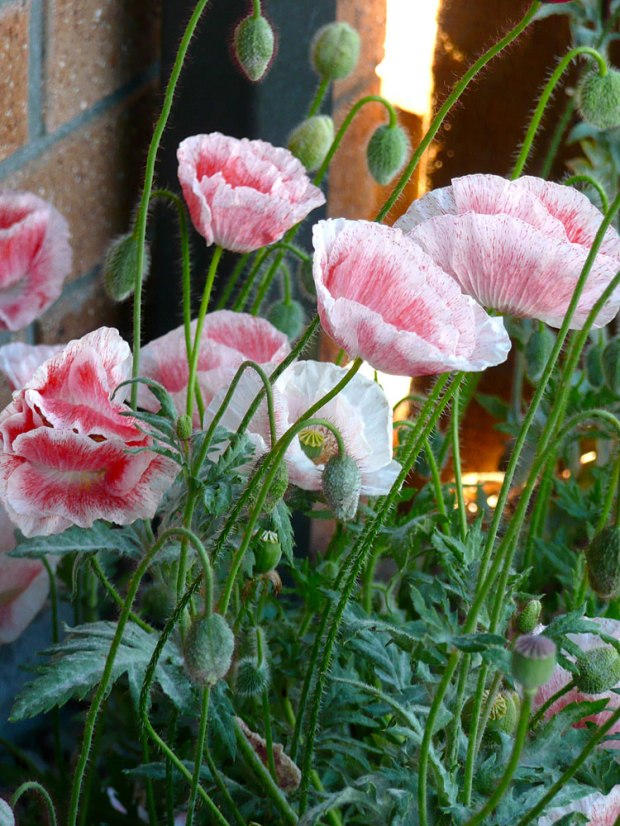 Poppies-for-2014