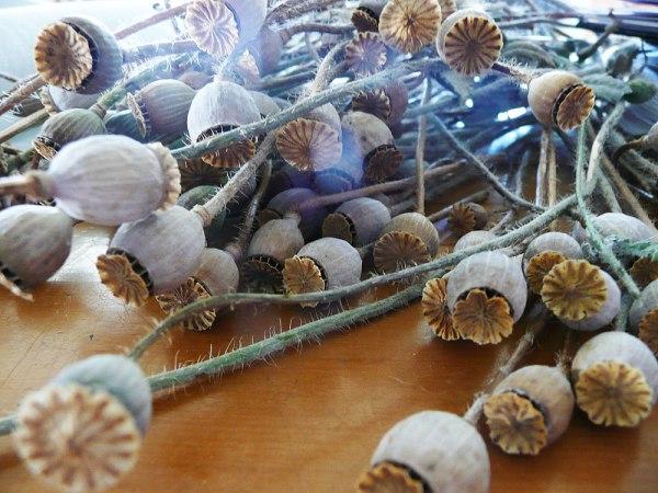 Poppy-seed-pods