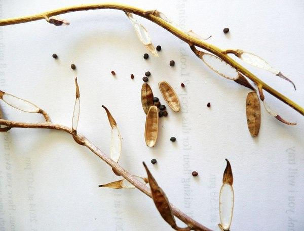 Rocket-seed-pods